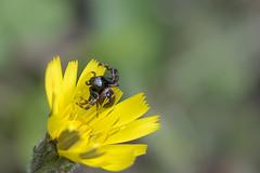 Little Spider (Vyc_Majoris) Tags: blur flower macro nature closeup spider close bokeh samsung mini 60mm nx