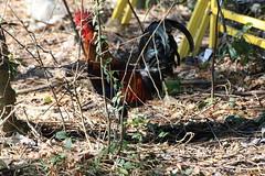 Canon201797 (godrudy6661) Tags: chickens chicken neworleans ninthward wildchicken feralchicken