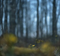 Spring is coming... (Franci Van der vyver (Carmen Tulum)) Tags: forest spring woods troutlily nikon1050mmf28