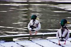 Ducks (osto) Tags: denmark europa europe sony zealand scandinavia danmark slt a77 sjlland osto alpha77 osto february2016