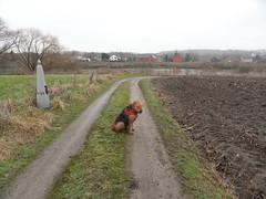 2016-0095 (schuttermajoor) Tags: nederland hond che maas eijsden 2016 airedaleterrier ommetjenederland