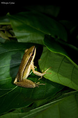 Bicolored frog (Deepu Cyriac) Tags: travel nature wildlife frog amphibians tamilnadu westernghats atr valparai indianforest valpara anamalais bicoloredfrog anamalaitigerreserve