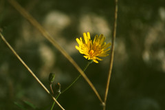 Coldplay - Yellow ( ) Tags: morning flower cute green home beautiful yellow forest photoshop photography photo amazing cool nice nikon pretty image flor hipster picture pic desenfoque tumblr