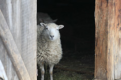 Through the Door (Cindy's Here) Tags: ontario canada canon sheep explore framing challenge fortwilliam thunderbay ansh