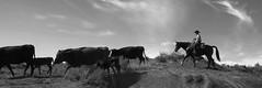 Cowboy Warner Valley 2 13 2016-7927 bw (houstonryan) Tags: ranch art up st print photography cow utah george cowboy photographer cattle ryan houston warner photograph valley round february rancher 13 roundup 2016 utahn houstonryan