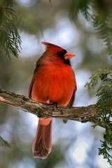 Cardinal Rouge --- Northern Cardinal --- Cardinale --- nikon d750 70-300 (Jacques Sauv) Tags: canada les de rouge la nikon montral cardinal watching du qubec d750 sur boucherville stlaurent northern parc oiseau pres 70300 frayre cardinale rives