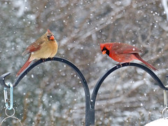 Waiting for a turn at the feeder (WRFred) Tags: snow bird nature cardinal wildlife maryland backyardwildlife montgomerycounty