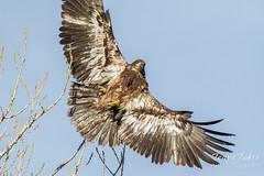 Startled Bald Eagle takes flight