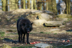 Black wolf (matthias.foto) Tags: park trip light wild dog black color tree cute green art nature beautiful beauty animal animals forest germany deutschland photography zoo photo wolf europe photos sweet bokeh outdoor wildlife portait sony natur hund grn alpha wald bume baum schwarz 6000 tier 2015 schn ilce ss mirrorless a6000 fe702004