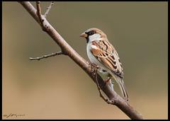 World Sparrow Day !!! (wajahat malik) Tags: world pakistan light green nature beauty forest canon photography for day colours dof bokeh wildlife vj lovers sparrow malik wwf 400mm natgeo colourfull canonguy of nationgeographic birdsofpakistan
