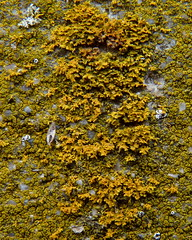 Orange lichen mix (Dendroica cerulea) Tags: winter newjersey nj fungi lichen titusville mercercounty ascomycota crustoselichen washingtoncrossingstatepark teloschistaceae washingtoncrossingbridge lecanoromycetes xanthomendoza teloschistales sunburstlichen candelariella candelariaceae candelariales washingtoncrossingtollsupportedbridge