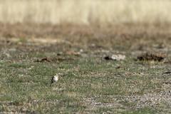 Horned Lark (Eremophila alpestris) 1 040316 (evimeyer) Tags: hornedlark lakecrowley eremophilaalpestris wildlifephotography