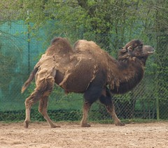 Bactrian Camel - Chester Zoo (Gilli8888) Tags: animals zoo cheshire chester camel chesterzoo zoopark zooanimals bactriancamel