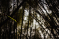 The last leaf couldn't fall yet (Premnath Thirumalaisamy) Tags: abstract canon eos leaf warm day bokeh bangalore quotes 1855mm karnataka cubbonpark lastleaf bambootrees singleleaf 550d bokehlicious