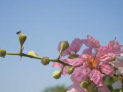P4162938 (tatsuya.fukata) Tags: flower thailand samutprakan