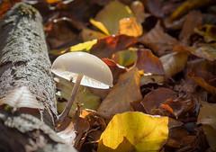 Fliegenpilz? (Thomas Heuck) Tags: light mushroom leaves forest natur pilz mritznationalpark