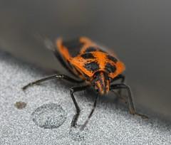 Horehound bug (Agonoscelis rutila) (Scutelleridae) (iainrmacaulay) Tags: bug australia horehound scutelleridae rutila agonoscelis