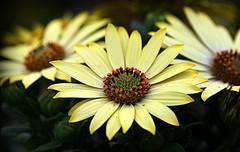 Osteospermum (SteveJM2009) Tags: uk flower colour petals spring focus dof hampshire hyde april africandaisy stevemaskell osteospermum 2015 capemarigold staroftheveldt