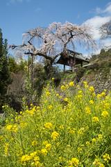 Sakura and Rape blossom  (PV9007 Photography) Tags: japan cherry temple spring kyoto village blossom rape southern    sakura ide   raps jizo  tempel frhling    kirschblte   shidare zenin    rapsblte   shidarezakura         idecho idechou
