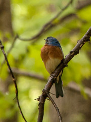 Resident Bluebird (4) (tommaync) Tags: blue trees usa brown white bird nature animal nc nikon wildlife beak northcarolina april bluebird pittsboro chathamcounty 2016 d40