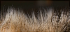 Hairy (FocusPocus Photography) Tags: hairy pet animal cat fur furry chat coat gato katze cleo fell haustier tier haarig