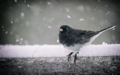 Whiskey Tango Foxtrot?? (DHaug) Tags: bird junco snowstorm feathers stormy telephoto april yuck fujifilm wtf annoyed darkeyedjunco juncohyemalis 2016 whiskeytangofoxtrot xt1 xf100400mmf4556rlmoiswr