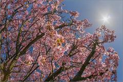 Blossom Sunburst (mikeyp2000) Tags: blue sky sun tree blossom sunburst sunstar