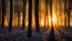 Woodland Dawn (Phil Selby) Tags: mist bluebells sunrise dawn oxfordshire beechtree badburyclump