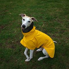 Rainy Day (DiamondBonz) Tags: dog pet rain yellow tongue hound whippet raincoat spanky dogchal