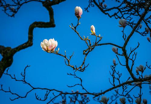 magnolia 2016