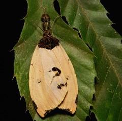 Tussock Moth (Numenes sp., Lymantriinae, Erebidae) (John Horstman (itchydogimages, SINOBUG)) Tags: china macro insect moth lepidoptera yunnan tussock lymantriidae lymantriinae erebidae itchydogimages sinobug