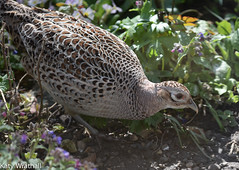 Lady pheasant arrives (Katy Wrathall) Tags: england birds female march spring pheasant feeders eastyorkshire 2016 eastriding