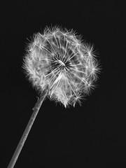 Lwenzahn (Ina Hain) Tags: white black flower macro pflanzen olympus blume makro kontrast schwarz lwenzahn pusteblume weis schwarzweis
