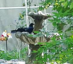(Photosintheattic) Tags: summer plants water yard garden spring outdoor lawn courtyard crow raven blackbird foutain