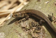 Common Lizard (Prank F) Tags: nature reptile wildlife lizard common wildlifetrust viviparous glapthorncowpastures northantsuk