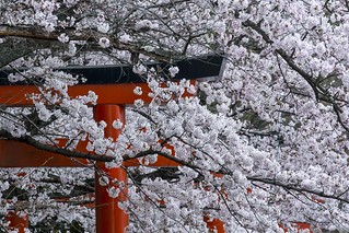 Cherry Blossom at Takenaka Inari Shrine 竹中稲荷神社の桜