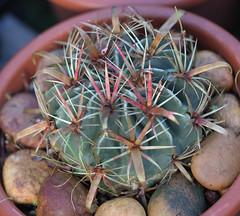 Ferocactus latispinus (alloe.) Tags: ferocactus