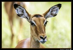 Tarangire 2016 04 (Havaux Photo) Tags: elephant robert rio river tanzania photo lion ostrich leon zebra antelope avestruz giraffe gazelle elefant antilope tarangire elefante riu gacela cebra estru jirafa lleo tarangirenationalpark antilop gasela havaux