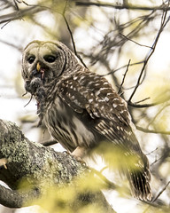 Barred Owl (Cappy0161) Tags: owl barred