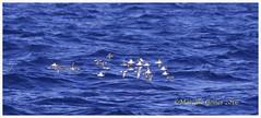 "Red-necked Phalarope (Phalaropus lobatus) RNPH - Audubon Society of the Everglades Pelagic Trip  over Atlantic Ocean, Palm Beach County, Fl... Thirty Makes a ""Whirligig"" of Phalaropes (brazman2012) Tags: birds birdsinflight audubonsociety smallbirds phalarope migratingbirds phalaropuslobatus migratorybirds pelagicbirds redneckedphalaropes rnph mcsg65 brazman2012 northatlanticbirds audubonsocietyoftheeverglades"