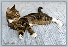 Totoro as a kitten (6 month) (Cajaflez) Tags: pet cat kitten kat chat totoro katze gatto huisdier kater katje saariysqualitypictures