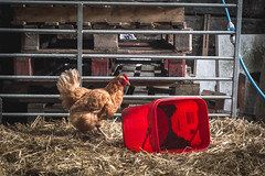 Who Gives A Cluck? (NVOXVII) Tags: uk red texture chicken barn rural countryside bucket spring nikon cornwall outdoor farming rustic explore adobe mostinteresting 1855mm hay agriculture pallet lightroom d3200