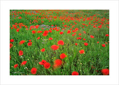 Poppie field (Toni Sanchis) Tags: verde rojo poppies amapolas amapola poppiefield campodeamapolas