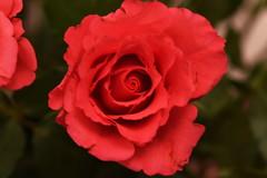 DSC_0787 (PeaTJay) Tags: flowers roses plants macro nature rose gardens fauna reading flora sigma indoors micro closeups berkshire rosebuds lowerearley nikond750