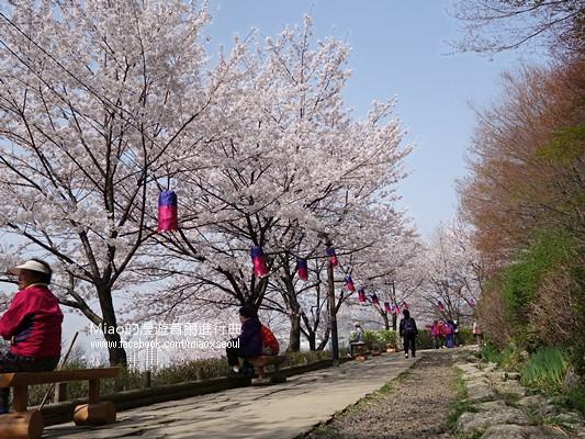 안산공원벚꽃11