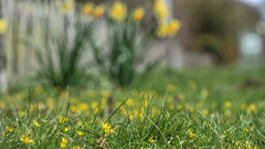 Spring Fence (pogmomadra) Tags: grass fence spring nikon dof d750 friday daffodils hff celandines