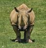 Wait...what? (ucumari photography) Tags: animal mammal zoo nc north rhino carolina april 2016 rhinocerus zoofari specanimal ucumariphotography dsc8575