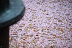 20160410-DSC_8445.jpg (d3_plus) Tags: sky plant flower history nature japan trekking walking temple nikon scenery shrine bokeh hiking kamakura fine daily telephoto bloom  tele nikkor    kanagawa   shintoshrine   buddhisttemple dailyphoto sanctuary   70210 thesedays kitakamakura    fineday  70210mm   holyplace historicmonuments 70210mmf4  zoomlense ancientcity         70210mmf4af 702104 d700 nikond700  aiafnikkor70210mmf4s 70210mmf4s