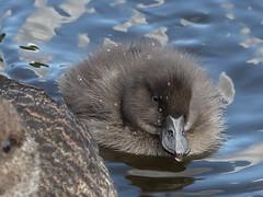 A new Blue-billed duckling (WA47) Tags: ducklings australia westernaustralia anatidae anseriformes oxyura bluebilledduck tomatolake oxyuraaustralis kewdale