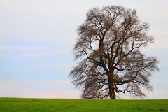 The proverbial lone tree - early spring (On Explore 4/12/2016) (die Augen) Tags: sky plant tree green grass canon wow landscape outdoors spring lone solitary brilliant sl1